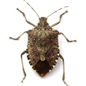 Stink Bugs Cause Problems!